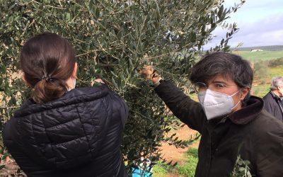 XfSTOP avança com a recolha de amostras de oliveira para o isolamento de endófitos