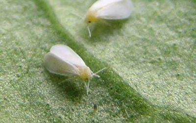 Identificada primeira transferência de genes de uma planta para um inseto