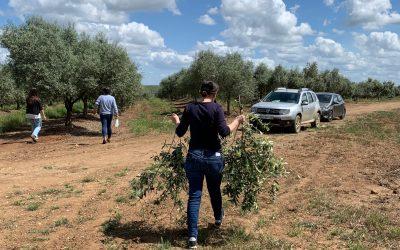 Como se processam ramos de oliveira e amendoeira?